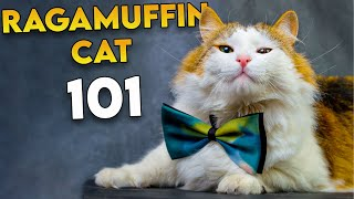 RAGAMUFFIN CAT 101   The Most UNDERRATED Fluffy Cat Breed