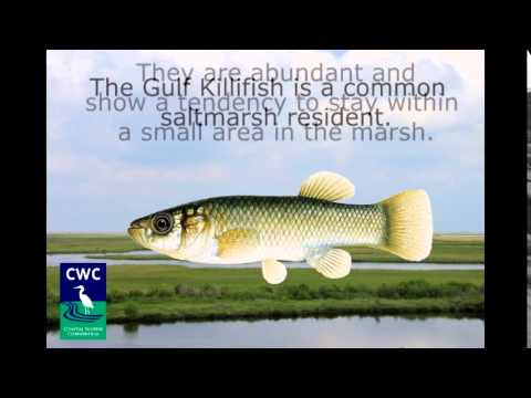 Working with the Gulf Killifish