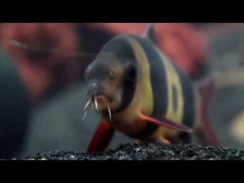 Tips For Keeping Clown Loaches With African Cichlids