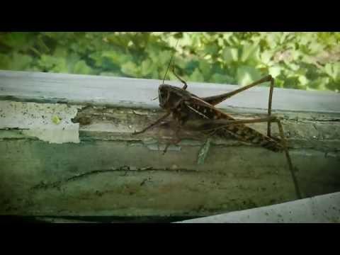 Вопрос: Саранча как одно насекомое превращается в природное бедствие?