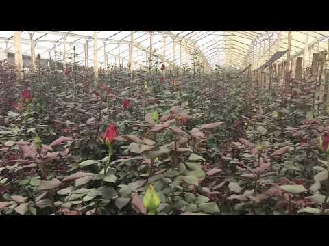 Как размножать розы