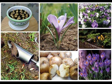 Два способа посадки крокусов в почву. И будет весной красиво