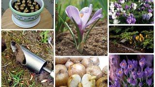видео Пушкиния посадка и уход в открытом грунте размножение семенами