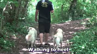 Mac - Golden Retriever Top Up Stay - Residential Dog Training