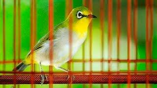 Download lagu 綠繡眼母鳥鳴叫 Japanese White-eye ♀