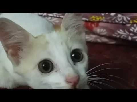 cat singing twinkle twinkle little star