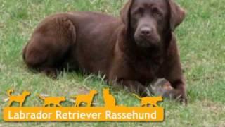 Labrador Retriever Welpen In Bad Frankenhausen