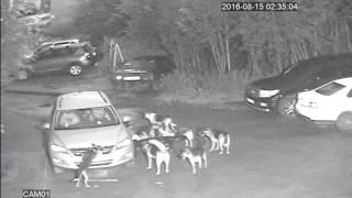 Собаки напали на автомобиль в Мурманске