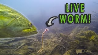 Do Bass Actually Eat Worms?? | GoPro Live Worm Footage