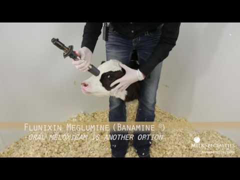 Calf Management Tips: Lidocaine Blocking & Dehorning