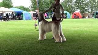 The Finnish National Specialty 2012 • Puppy, Junior And Intermediate Classes