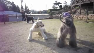 dog cafeのランで、姉妹、お友達と走る!
