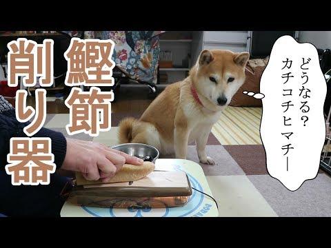 柴犬小春 【ASMR】鰹節削りで硬い犬用チーズ棒(ヒマチ―)を削ってみたら・・・。Shaving dogs Cheese Stick