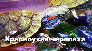 красноухие черепахи! содержание дома