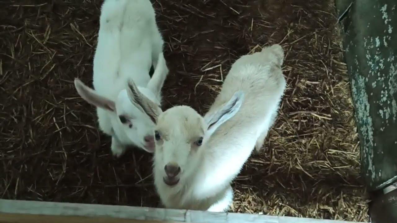 Продаются козлята на племя с.Львовское Северский р-н.Пишите в WhatsApp или звоните +7(989) 214-48-75