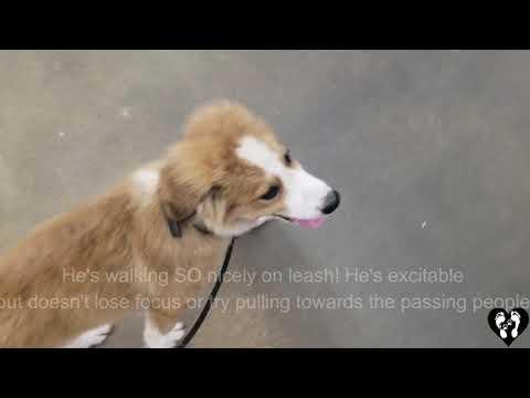 4 month old Bernese Mountain Dog mix puppy, Roger | Houston dog training