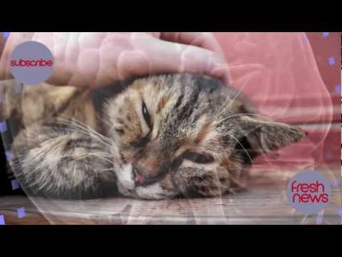 Cat Parasite Toxoplasma Gondii Can Enter The Human Brain