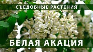 Съедобные растения. Белая акация