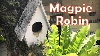 鵲鴝又诞生了!Oriental Magpie Robin babies in my garden birdhouse again!
