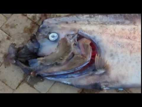 Oarfish: How The Monster Sea Serpent Was Landed By California Snorkler - Exclusive Interview