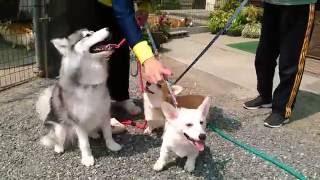 エルマン、メルのコーギー兄妹と同居犬ハスキーのナツちゃんです。