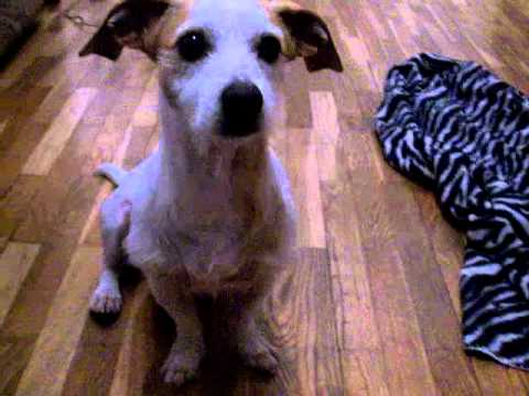 Snoopy Jack Russel Mischling Dackel Freestyle YouTube
