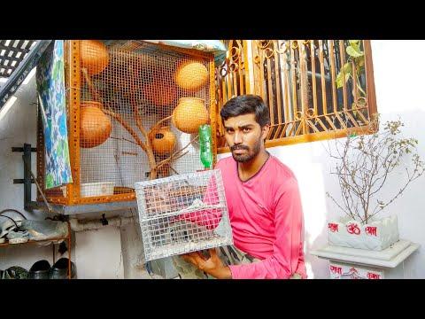 Buying love birds