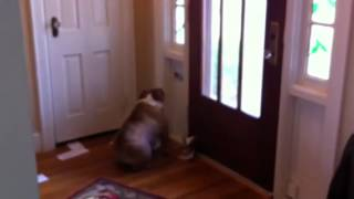 English Bulldog Stella Vs The Mail