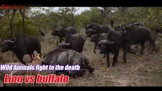 Lion vs buffalo, Grupa Lwy atakują i zabijają 1 Buffalo Dzikie zwierzęta walczą na śmierć