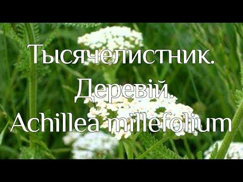 Тысячелистник (трава) — лечебные свойства и применение