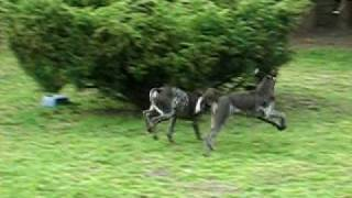 German Shorthaired Pointer Pups At Play