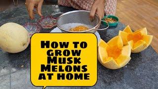 How to grow Musk Melons from the fruit you eat??ఖర్బుజ పండును ఇంట్లో పెంచడం ఎలా ?#fruittrees