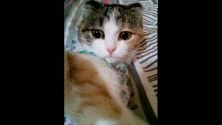 Кошка Пуся после наркоза