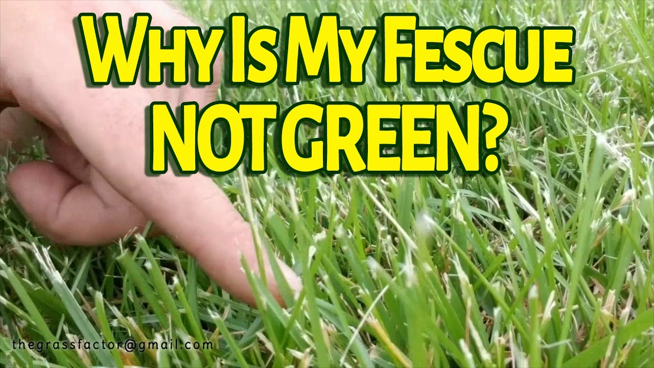 Why Is My Tall Fescue Not Green The Gr Factor