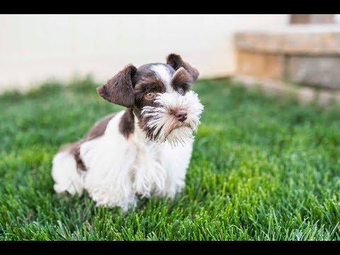 ace-is-stellar!!!-schnauzer-puppy-in-training!