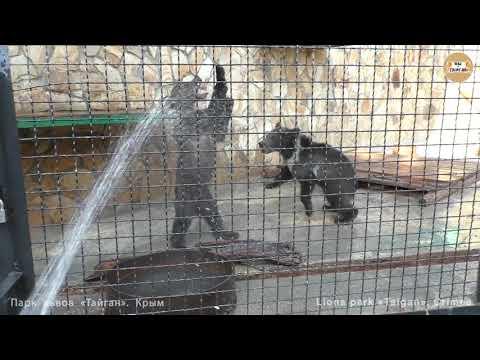 Летний душ - медвежья радость :) Медвежата. Тайган. Summer Shower - Joy Of Bears Cubs. Taigan