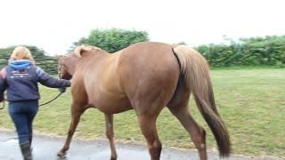 Irish Symphony 10yo T.B broodmare in foal to Primitive Star for 2015