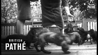 Dachshund Dethrones The Poodle & Police Dog Training School (1960)