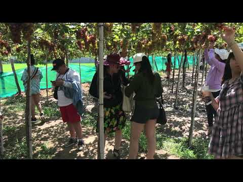 Tham quan check-in vườn nho Phan Rang Ninh Thuận