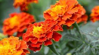 Цветы для сада.  Неприхотливые цветы с названиями.
