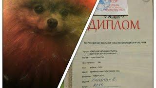 Дружок моей собаки чемпион России среди шпицов