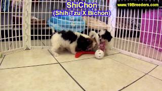ShiChon, Puppies, For, Sale, In, Portland, Oregon, OR, McMinnville, Oregon City, Grants Pass, Keizer