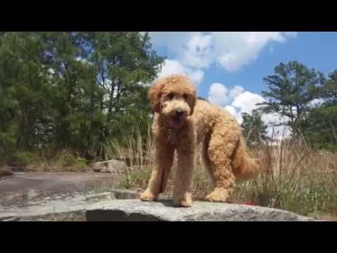 """1 Year Old Labradoodle """"Miles"""" Before/After Video 