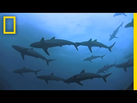 Shark Island Swarms  National Geographic