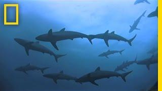 Shark Island Swarms   National Geographic