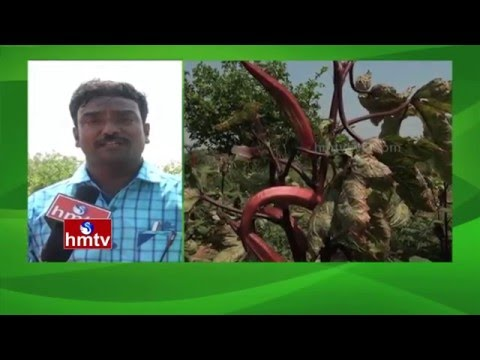Nela Talli | Vegetable Farming Tips | Why Farmers Quit Agriculture ? | Tobacco Cultivation | HMTV