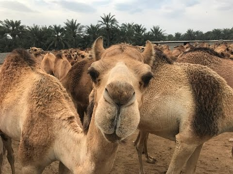 Royal Camel Farm Bahrain / Bahreïn - 4K UHD - Filmic Pro 100 mbps