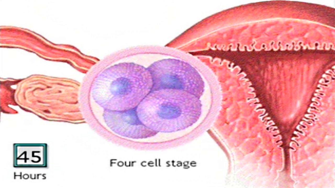 How The Embryo Develops After Fertilisation Human Development