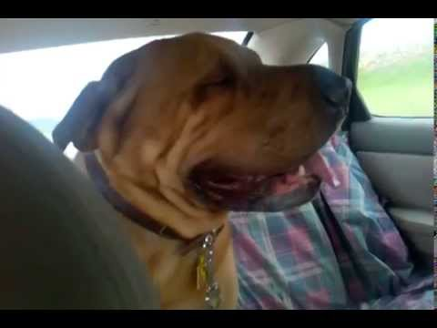 Saying Goodbye to Foster Dog Pudge the Shar Pei