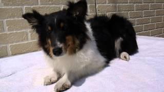 シェルティ、シェットランドシープドッグの子犬販売情報はこちらhttp://...